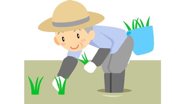 田んぼでお米を作るところ